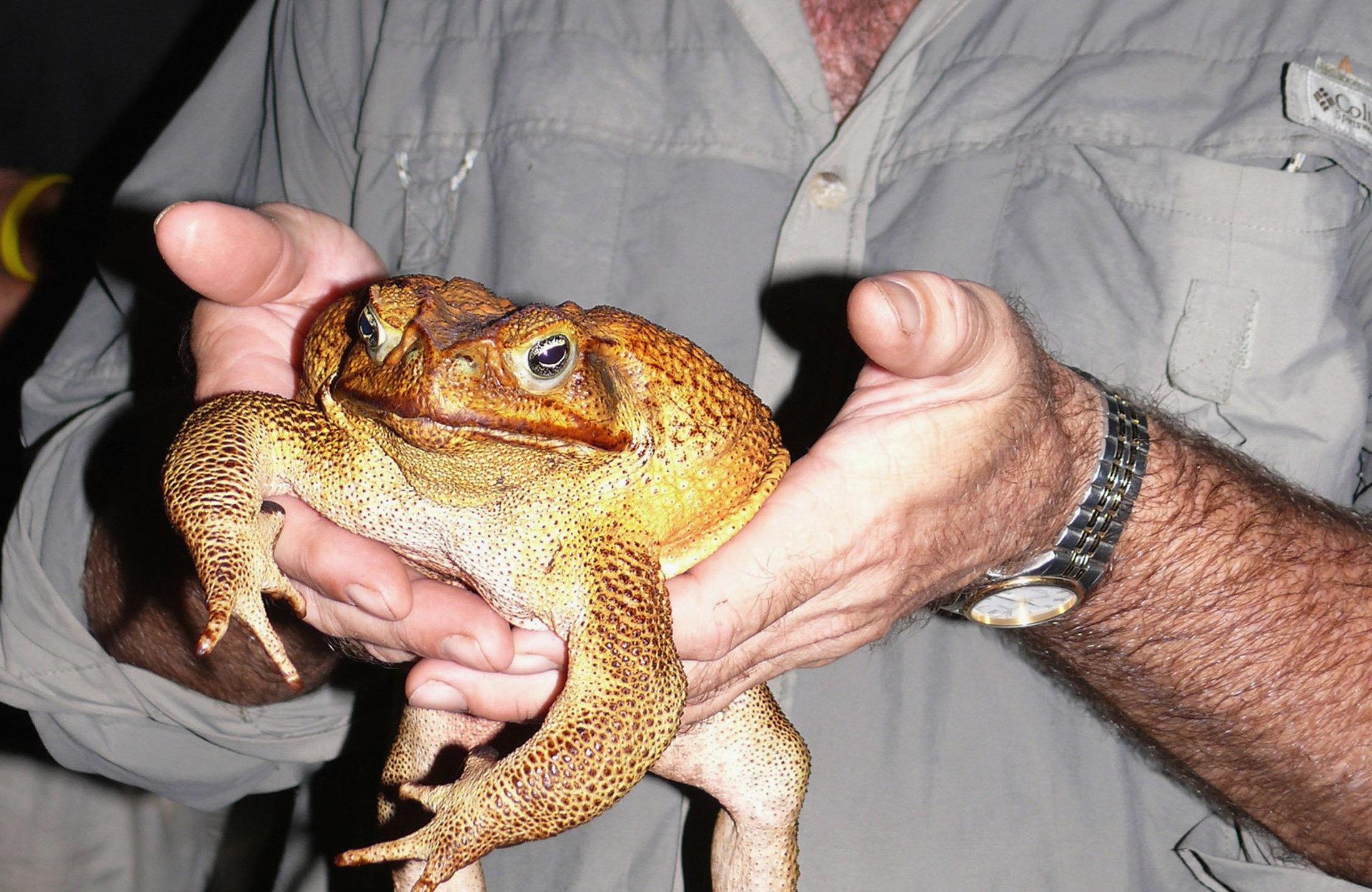 Kein Herz für Tiere: Der Aga-Kröte sind die Naturschützer in Australien ganz schön ans Leder gegangen