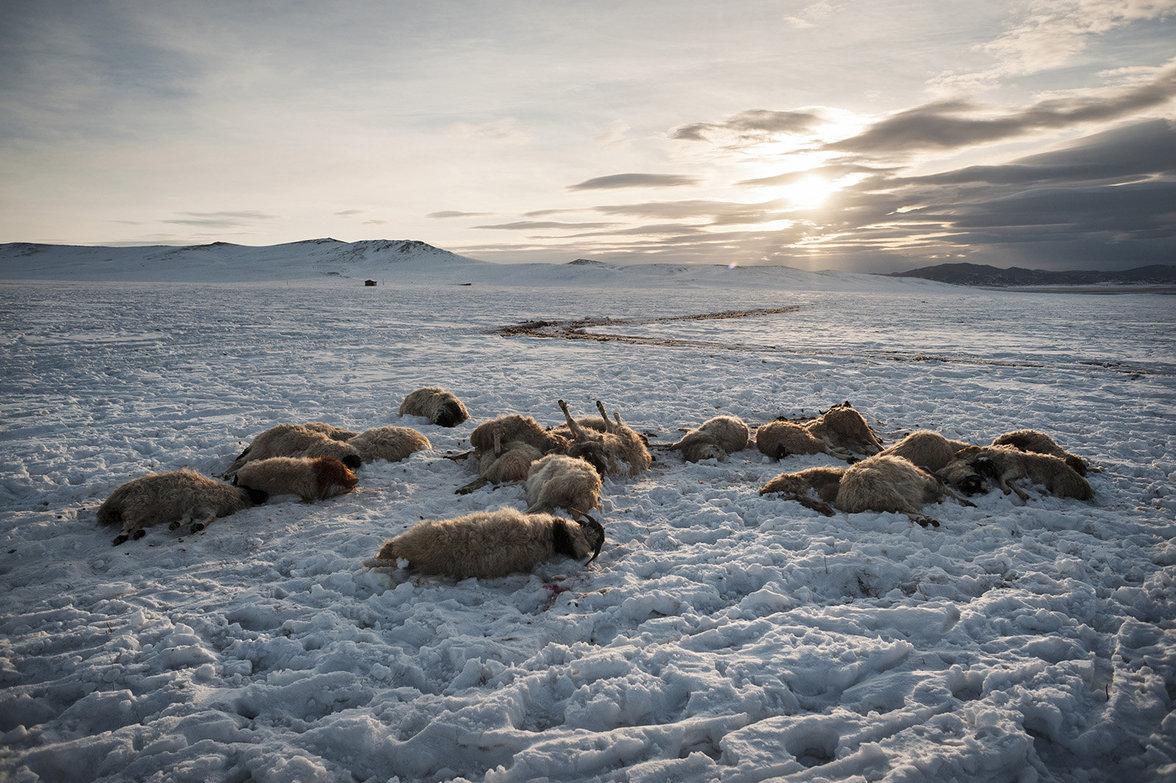 In der mongolischen Provinz Archangai-Aimag liegen tote Schafe im Schnee (Alessandro Grassani)