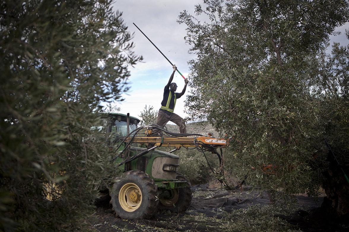 Saisonarbeiter bei der Olivenernte in Spanien