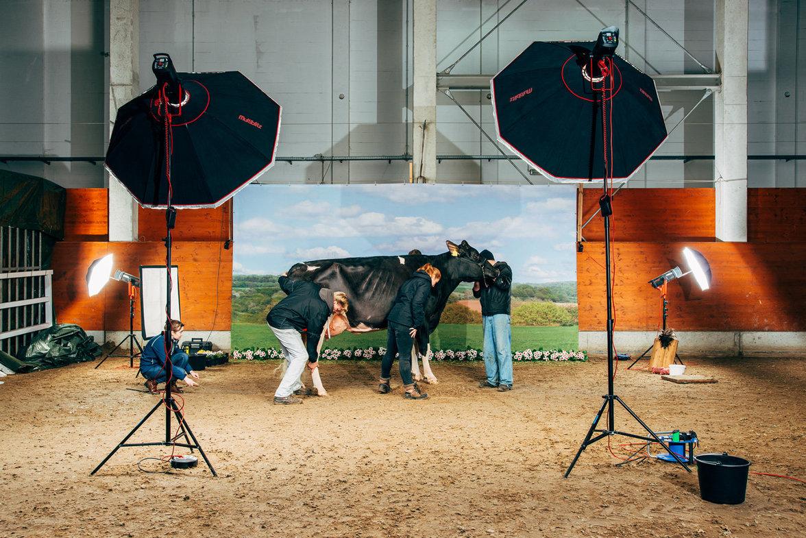 Damit die Rippen dieser Holsteinkuh im Scheinwerferlicht optimal zur Geltung kommen, wurden sie für ein Katalogshooting mit Haarlack eingesprüht
