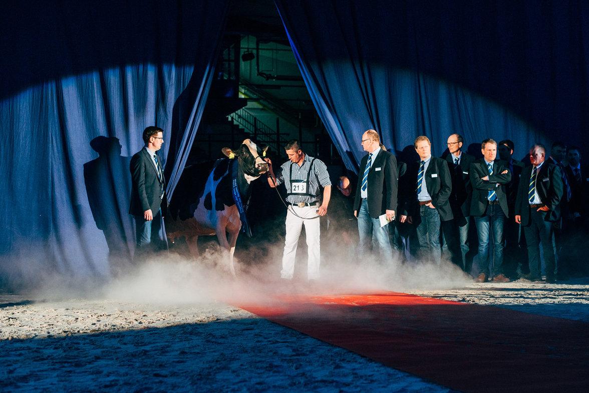 """Grast einen Titel nach dem nächsten ab: Die Kuh Lady Gaga ist der Star auf der """"Schau der Besten"""" in Verden. Ihr Besitzer Henrik Wille führt sie während des Finales auf dem roten Teppich vor"""