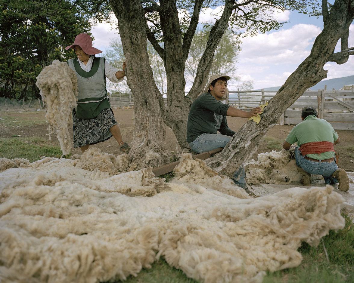 Mapuche sammeln Schafswolle