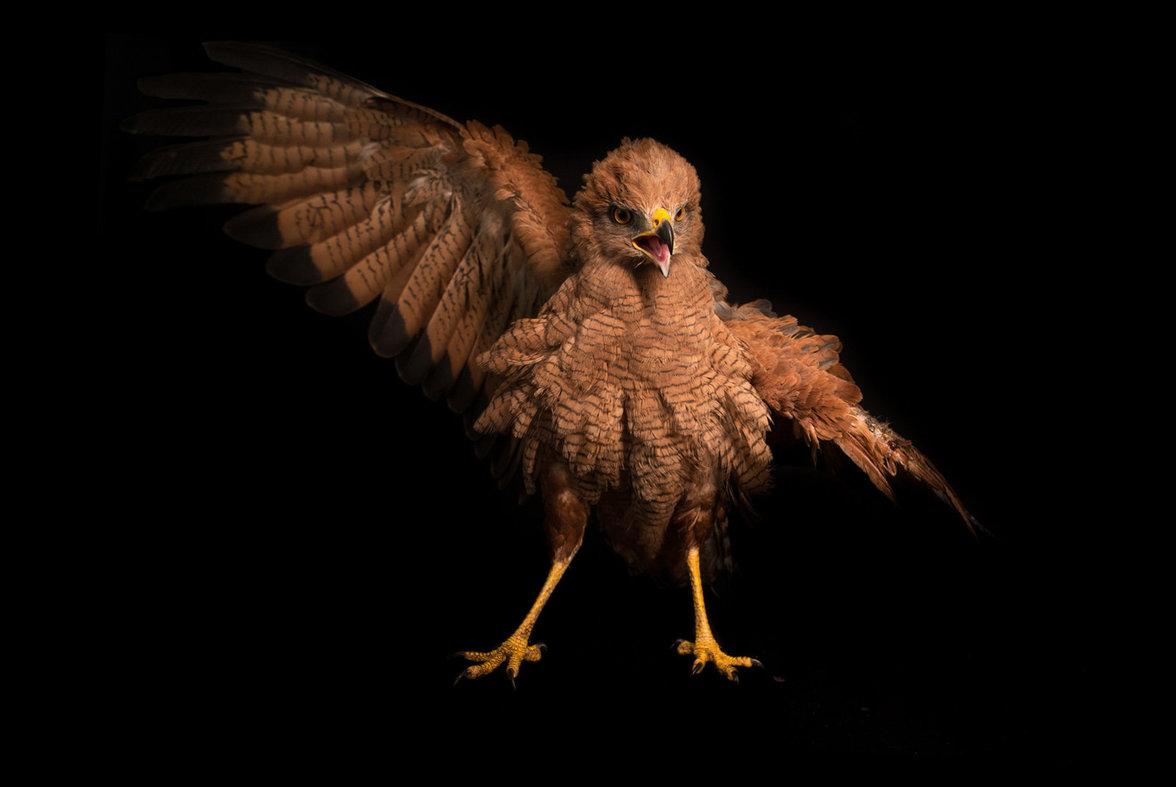 Greifvogel Sperber