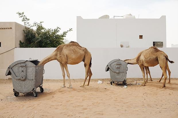 Kamele beim Containern (Foto: Hans Palmboom)