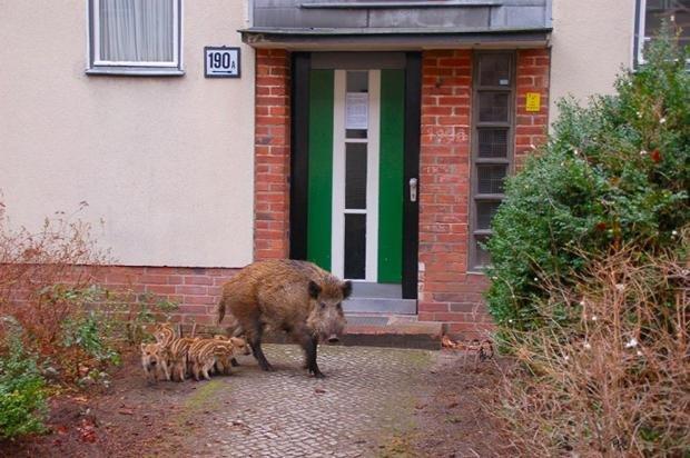 Erkenntnisse des Berliner Wildtiertelefons: Beim Wildschwein ist es die Größe... (Foto: Thorsten Wiehle / Berliner Forsten)