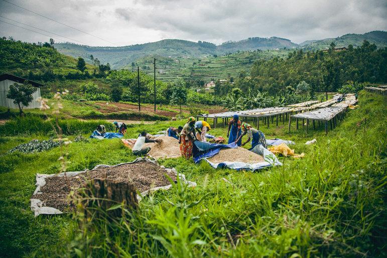 Kaffeerente in Rwanda  (Foto: The Accelerator)
