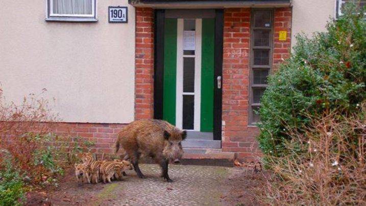 Erkenntnisse des Berliner Wildtiertelefons: Beim Wildschwein ist es die Größe...