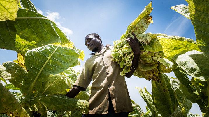 Tabakbauer bei der Ernte auf einer Plantage in Malawi