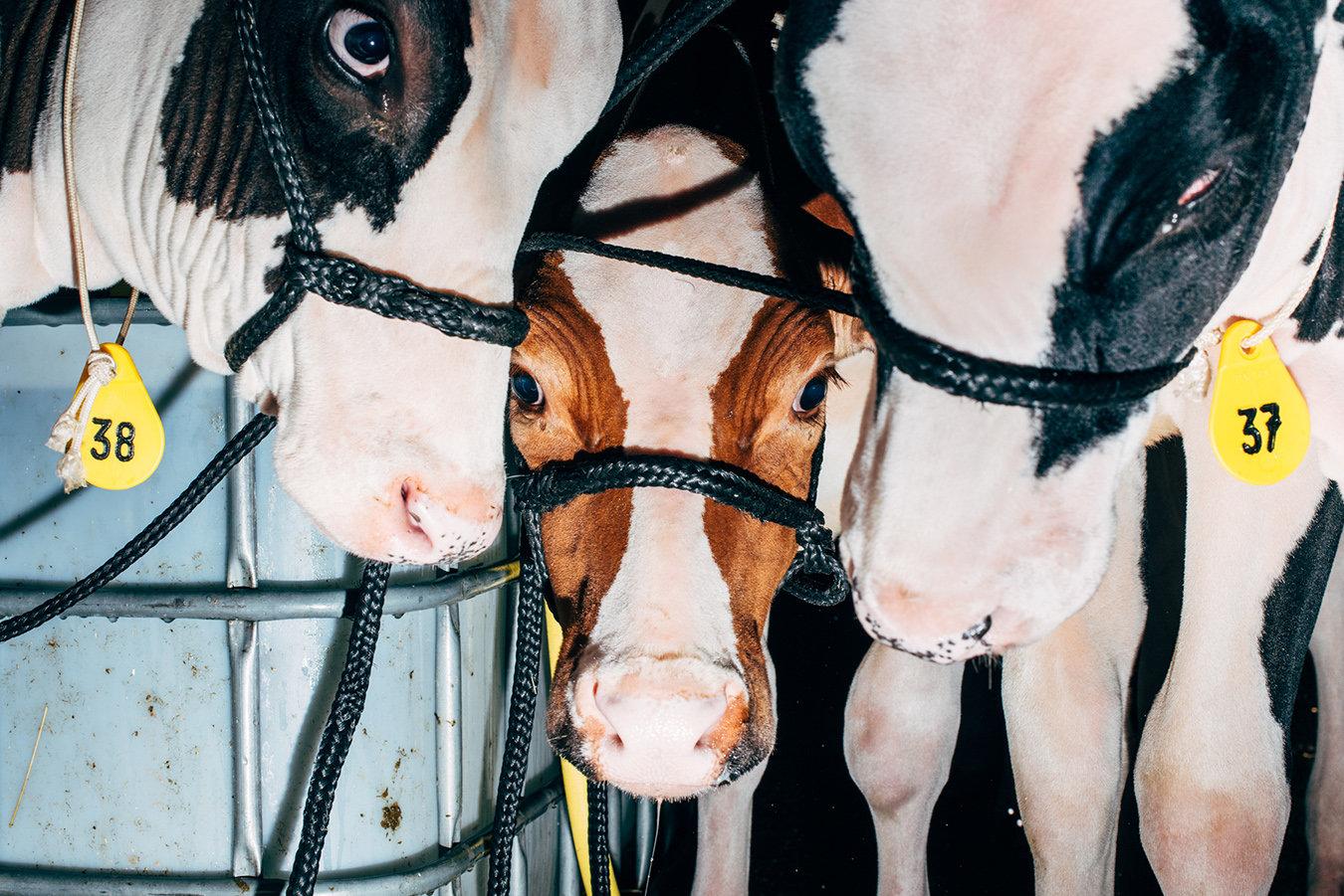 """Resi zum Ersten, zum Zweiten, zum Dritten! Auf der Auktion """"German Masters Sale"""" in Bitburg werden auch ganz junge Kühe versteigert"""